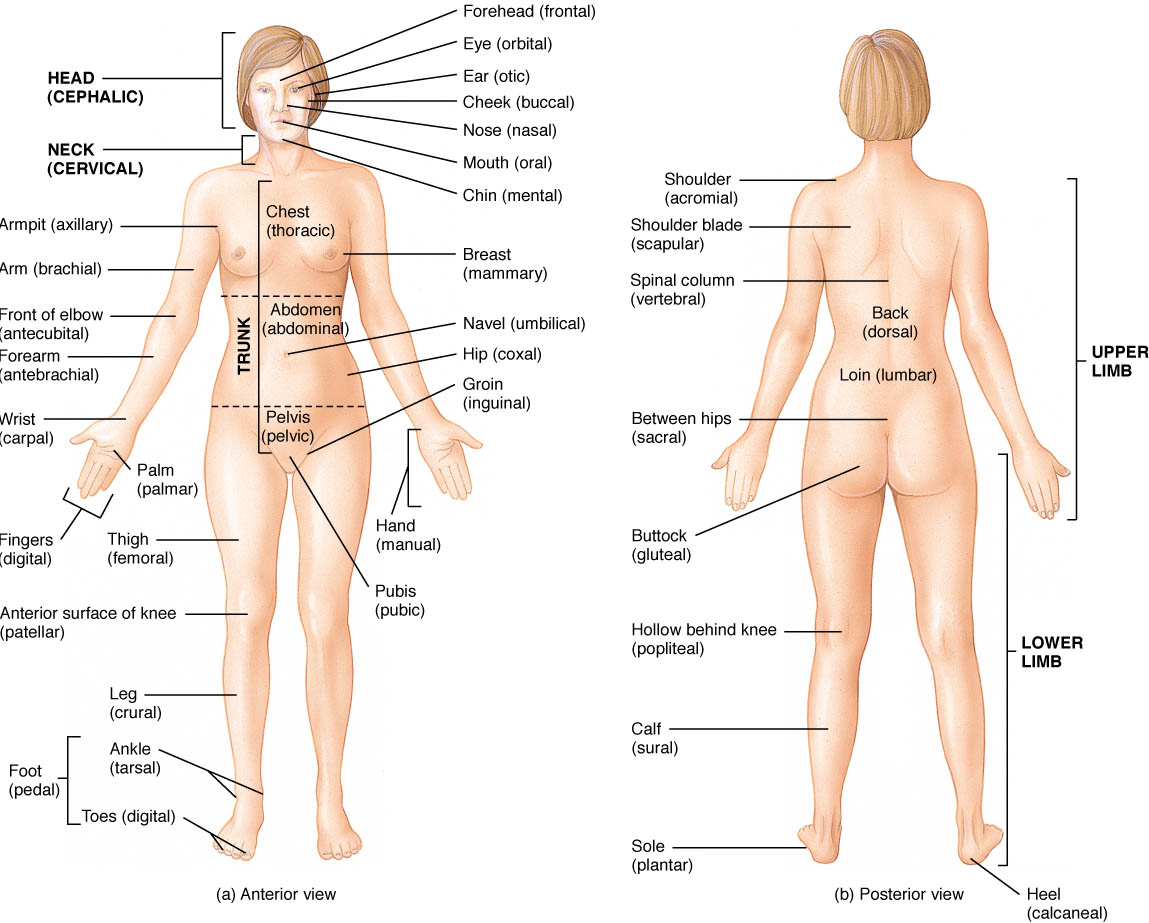 Gambar Anatomical Orientaion Sites For Human Anatomy Physiology Jpeg ...