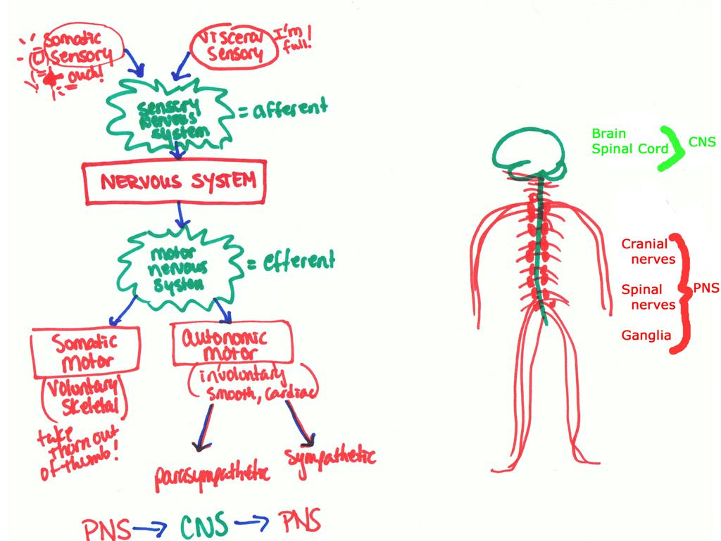 Nervous System Anatomy Andy