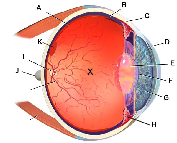 Label the Eye