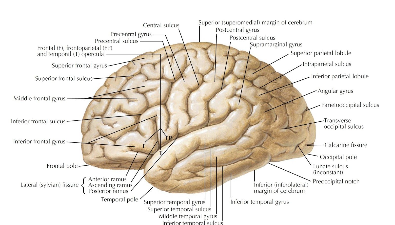 Internal Diagram Of Brain With Labels And Definitions - Wiring ...