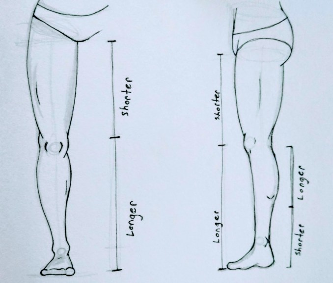 Proportions of the legs
