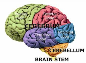 Anatomy Of The Brain Home