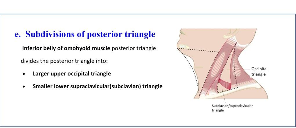 Subdivisions of posterior triangle