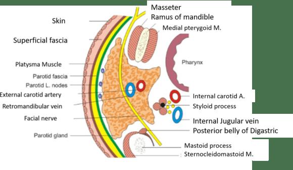 Anatomy of the parotid gland