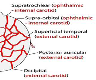 arterial supply of scalp