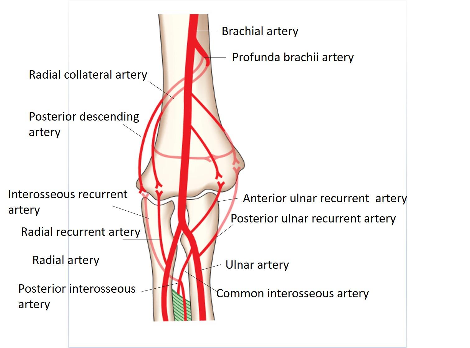 Cubital fossa anatomy
