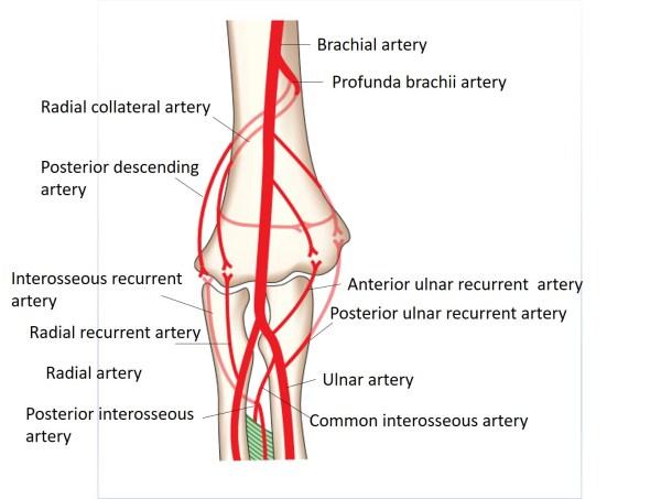 anastomosis around elbow joint