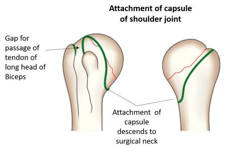 Attachment of capsule of shoulder joint