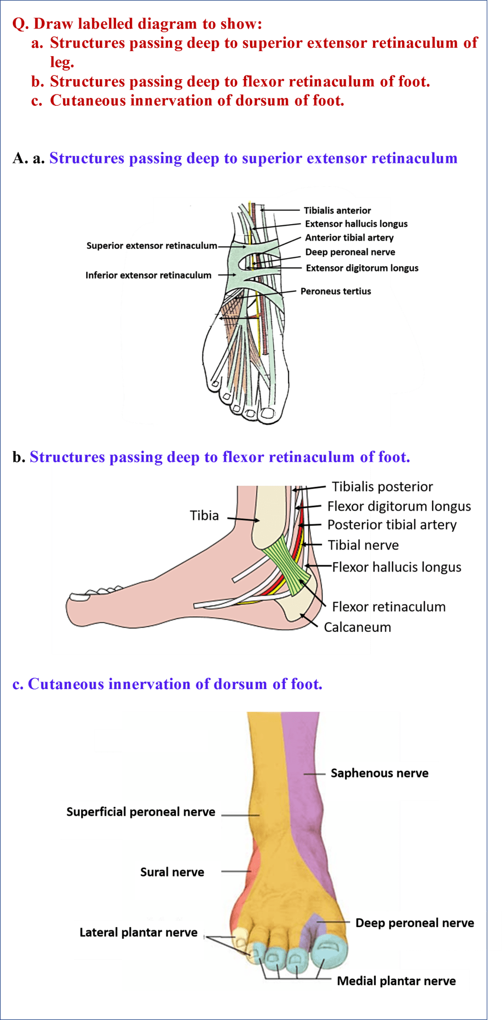 Diagrams Showing Structures Passing Deep to Extensor and Flexor Retinacula of foot & Cutaneous Innervation of Dorsum of Foot