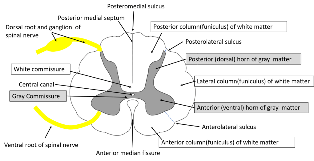 transverse section of spinal cord - arrangement of gray and white matter