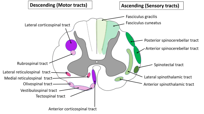Spinal cord anatomy-location of ascending and descending tracts in transverse section of spinal cord