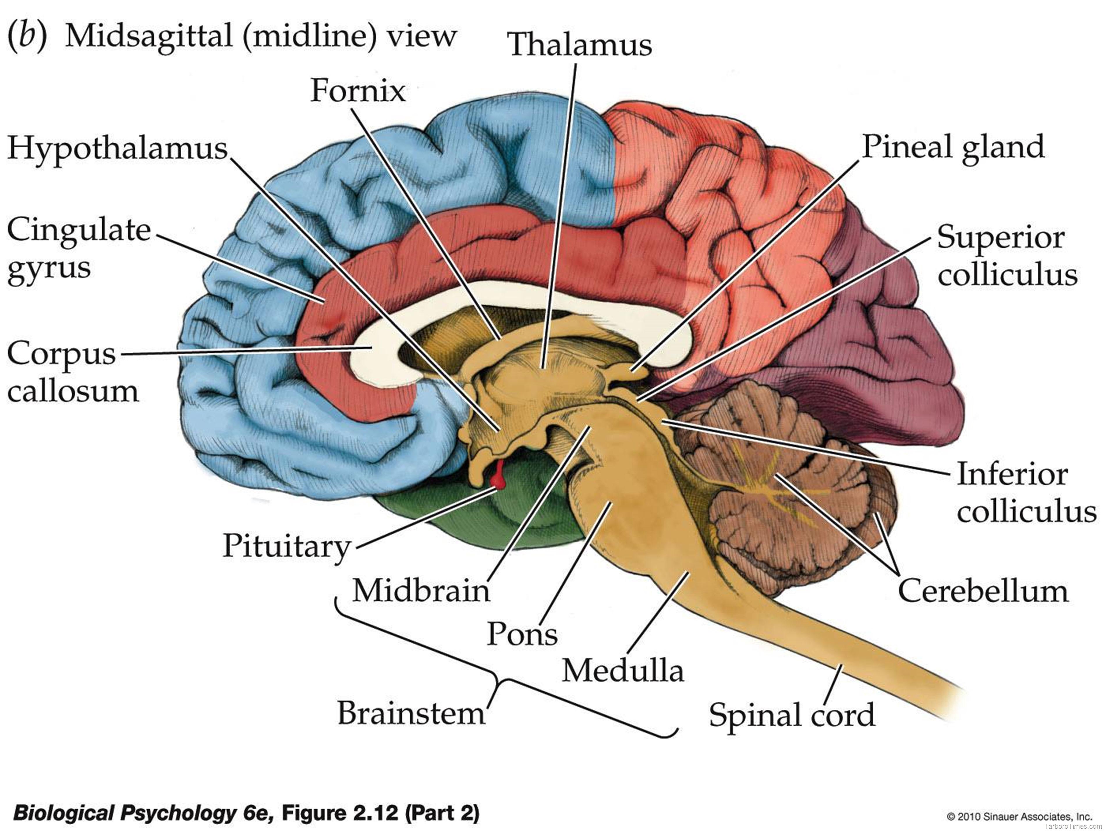Brain Diagram Anatomy System
