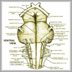 cerebral peduncles | Anatomy System  Human Body Anatomy diagram and chart images