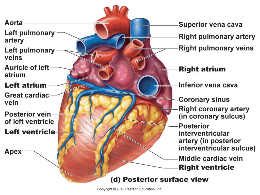 Heart Diagram Anatomy System