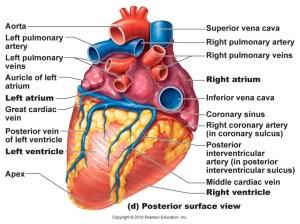 Anatomy System  Human Body Anatomy diagram and chart