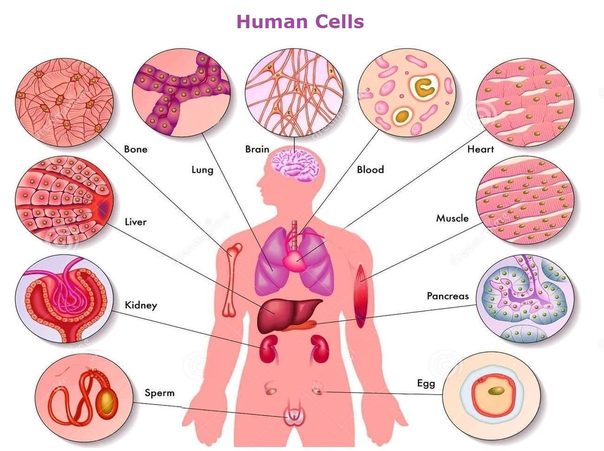 Human Cells Anatomy System