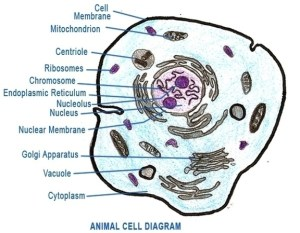 Cell | Anatomy System  Human Body Anatomy diagram and