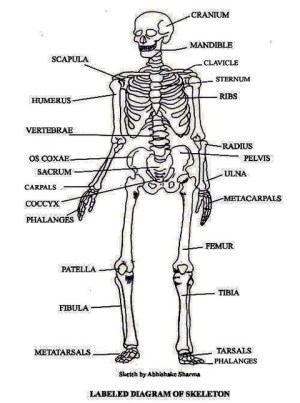 Skeletal System Labeled Diagrams Of The Human Skeleton | Autos Post