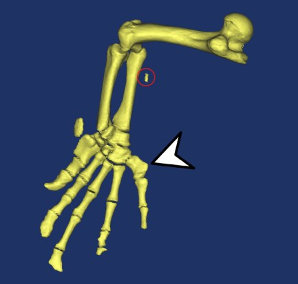 Hindlimb, indicating the fifth digit (arrow). Also note the microchip used to track the animal (red circle).