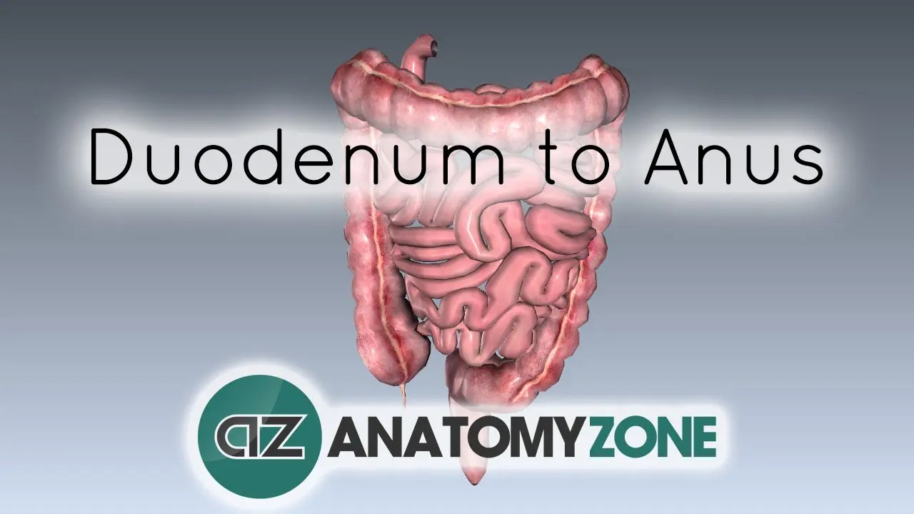 Digestive System Basics Duodenum To Anus Anatomyzone
