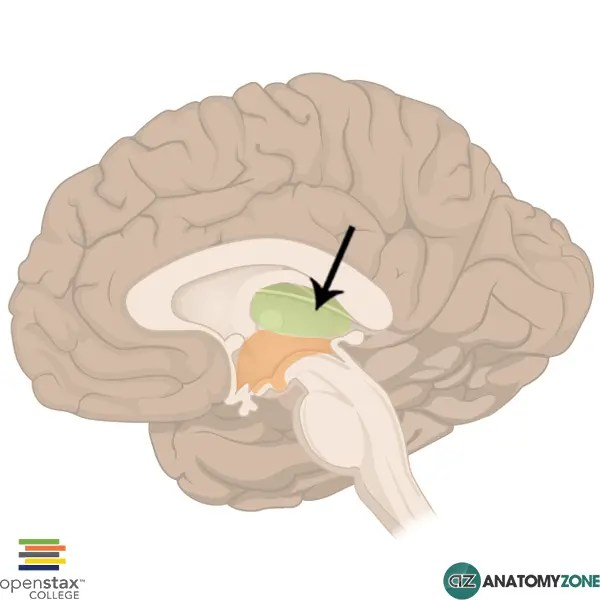 Thalamus • Nervous System • AnatomyZone