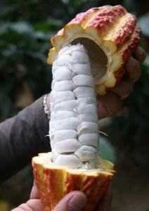 Raw cocoa bean