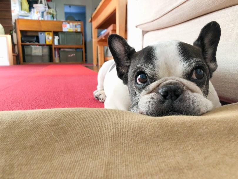 犬のホルモン系の病気で一番多い「クッシング症候群(副腎皮質機能亢進症)」について