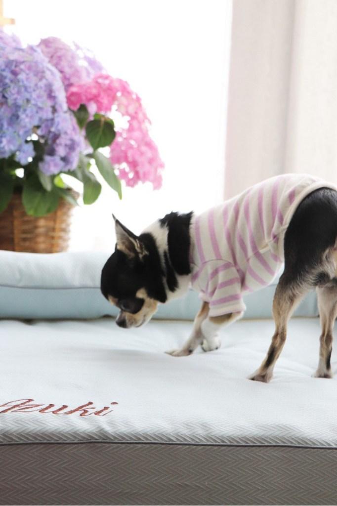 チワワのあずきちゃん9歳 犬のベッド:アンベルソ