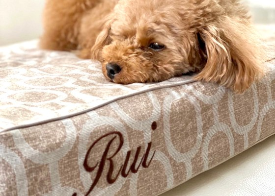 トイプードルのルイくん3歳|犬のベッド:アンベルソ