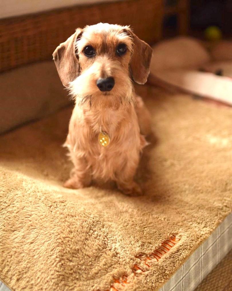 ワイヤーダックスのタルト(ぽて爺)くん17歳7ヶ月、ポムちゃん2歳|犬のベッド:アンベルソ