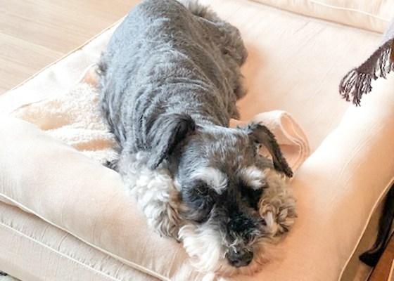 Mシュナウザーのジョリィちゃん10歳|犬のベッド:アンベルソ
