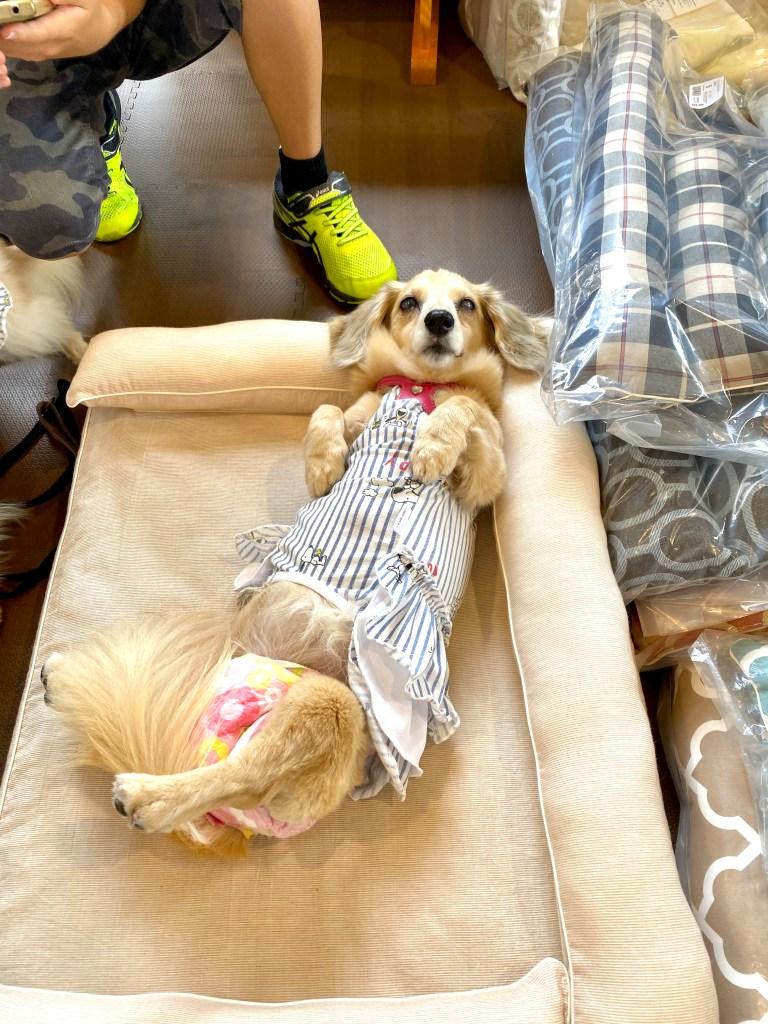 ANBERSO® presents ペットのセルフケア at ちゃこーるぐれい|犬のベッド:アンベルソ
