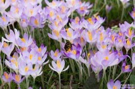 A big bumblebee at work among the crocuses