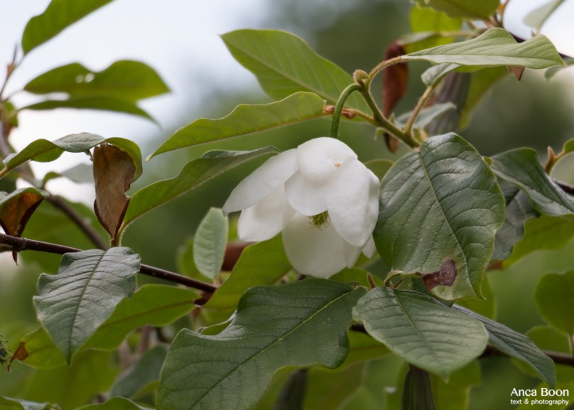 Chinese magnolia-3