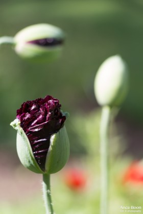 Poppies2-11