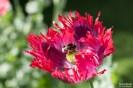 Poppies2-4