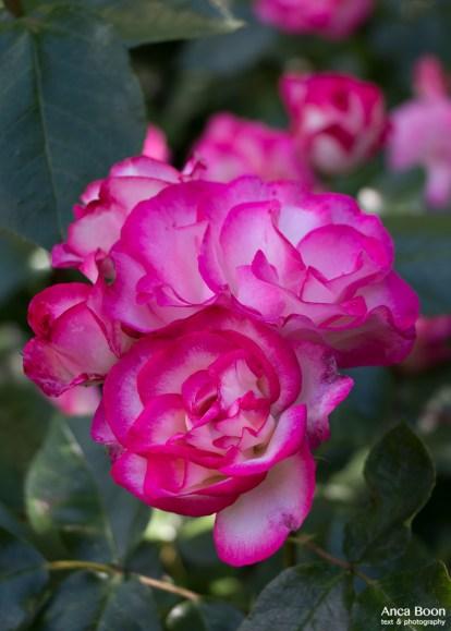 Rose-28
