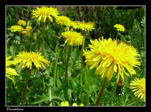 Foraging for Dandelions