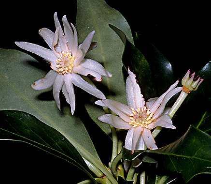 star anise flower