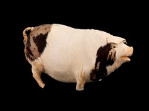 Edith Russell Pig