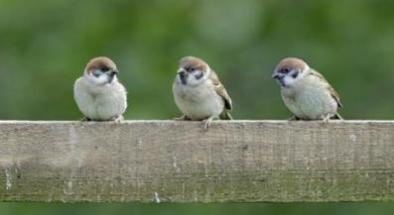 tree_sparrow_david_kjaer_web_size_0