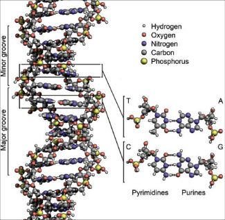 SPACE-FILLED MODEL OF DNA — Made up of the nucleotides adenine and guanine (purines), cytosine and thymine (pyrimidines). The dashes between the hydrogens, oxygens and nitrogens refer to hydrogen bonds that bind DNA together and ultimately form the 3D structure of the double helix