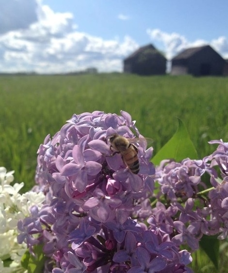 Lilacs and bees, the Greenleese's spring view.