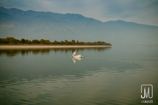 A pelican swims on Lake Kerkini, Greece
