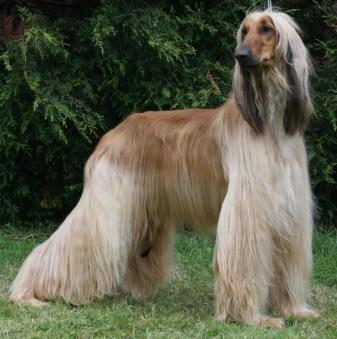 afghan-hound-1