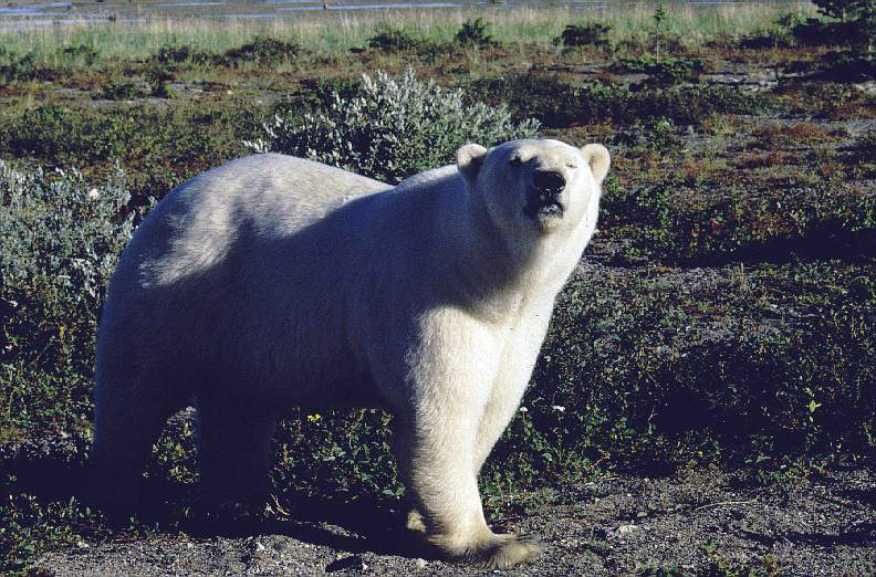 Polar bear at Akimiski Island (photo © David Rudkin, Royal Ontario Museum)