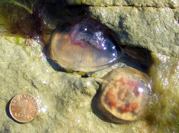 Dead moon jellies, coast of Estonia