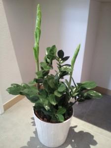ザミオ 植物