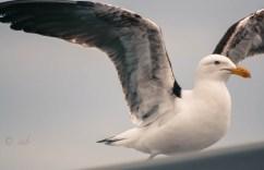Black-backed Gull (Karoro). Wellington, NZ.
