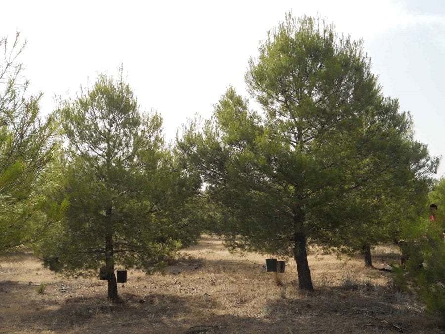 Estudio pino carrasco UGR IFAPA